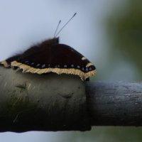 """Бабочка- """"Траурница"""" :: Larisa Freimane"""