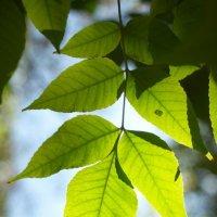 листья 6 :: Дмитрий Барабанщиков