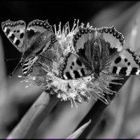 Бабочки летают... :: Надежда Чернецкая