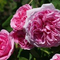 Роза Damascena :: Swetlana V
