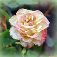 Августовские розы :: Андрей Заломленков