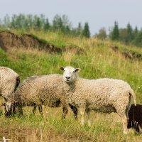 Овцы на лугу :: Светлана Чуркина