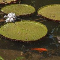 Кувшнки и рыбки :: Alla