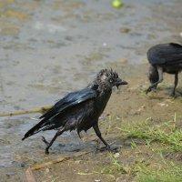 некрасавая? зато чистая! :: linnud