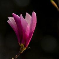 Раннецветущая красота :: Павел Руденко