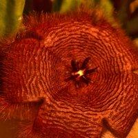 Цветок стапелии :: galina tihonova