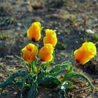 Степные тюльпаны, закат солнышка. :: Алла