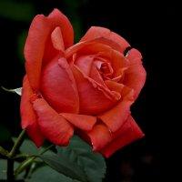 Роза в июле :: Валентина *