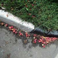 Яблочный марафон в городских кварталах. :: Ольга Кривых