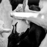 Goat farm :: Света Гончарова