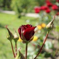Роза :: Olyapka