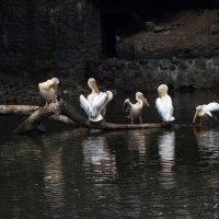 Стая пеликанов :: Владимир Бровко