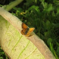 бабочка :: Алена Малыгина
