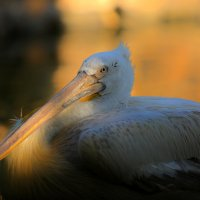 Great White Pelican :: Армен Абгарян
