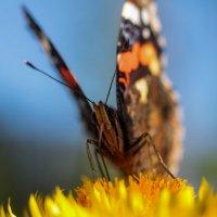 Бабочка :: Денис Матвеев