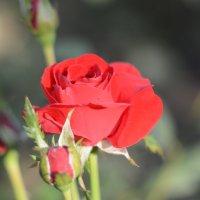 роза :: Руслан