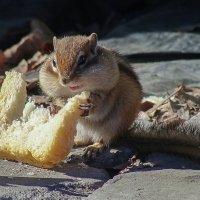 Бурундук с кусочком хлеба. :: Виктор Иванович