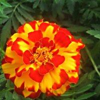 Яркий цветок сентября :: Елена Семигина