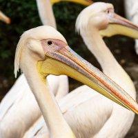 Пеликаны :: Оксана Лада
