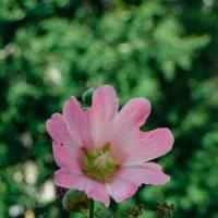 розовый гигант :: Света Кондрашова