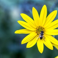 Красивый цветок топинамбура :: Семен Кактус