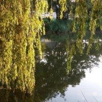 Плакучая над прудом... :: Лилия Дмитриева