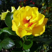 Осеняя роза Фото №1 :: Владимир Бровко