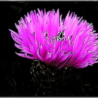 Розовый пушистик амбербоа :: Нина Корешкова