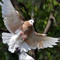 """""""Иду на посадку!""""  (соседняя голубятня-в породах, увы, профан) :: Gavrila68 -Женя"""