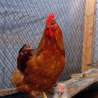 Хозяин птичьего двора. :: Мила Бовкун