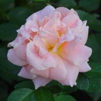 Парковые розы в сентябре... :: Тамара (st.tamara)
