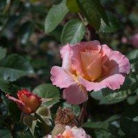 Просто роза. :: Лилия Гудкова