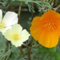 Цветы, цветы...(эшшольция) :: Вячеслав Медведев