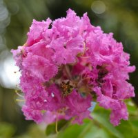 flowers :: Вероника