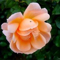Чайная роза :: °•●Елена●•° Аникина♀