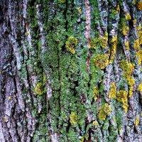 старое дерево :: Ольга Заметалова