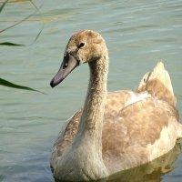Уже не птенец, но ещё не лебедь... :: Маргарита Батырева