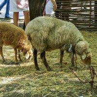 Овцы :: Игорь Сикорский