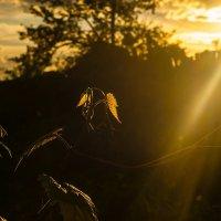 Лоза в лучах заходящего солнца :: Albina