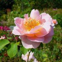 Розы нежность :: Nina Yudicheva