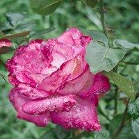 Дождливая роза. :: Андрий Майковский