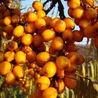 Солнечная ягода :: Елена Якушина