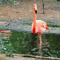 Розовый фламинго. :: Лара ***