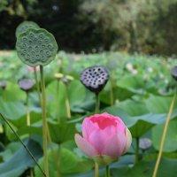Три фазы жизни цветка. :: Лилия Дмитриева