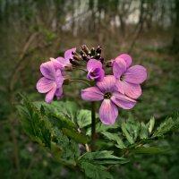 Лесной цветочек :: Клара