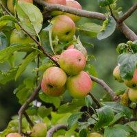 Яблочки в саду :: Eugen Pracht