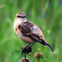 Птичка на лугу :: Екатерина Торганская