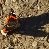 Тень бабочки. :: Оля Богданович