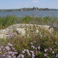 Цветущие сентябринки на берегу Колыванского озера :: Андрей