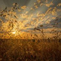 Вечер в золото одел и поля и небеса! :: Александр Сыроватка